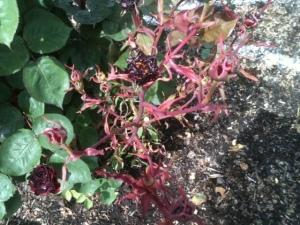 Foliar damage caused by herbicide overspray.